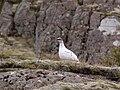 Fjällripa Rock ptarmigan (14341925728).jpg