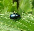 Flea Beetle. Altica species. Chrysomelidae - Flickr - gailhampshire.jpg