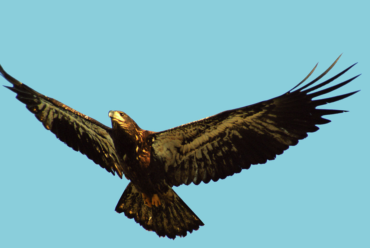 file fledging bald eagle jpg wikimedia commons