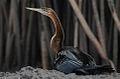 Flickr - Rainbirder - African Darter (Anhinga rufa).jpg
