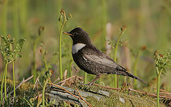Flickr - Rainbirder - Ring Ouzel male.jpg