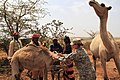 Flickr - The U.S. Army - Camel care.jpg