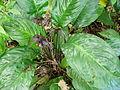 Flickr - brewbooks - Tacca chantrieri - Bat plant (1).jpg