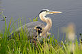 Flickr - ggallice - Great blue heron (1).jpg