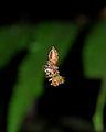 Flickr - ggallice - Jumping spider pair.jpg