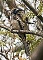Flickr - tj.haslam - African Grey Hornbill (Tockus nasutus).jpg