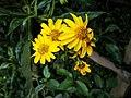 Flor groga a Kuélap02.jpg