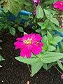 Flor rosa e mosca.jpg