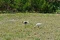 Florida Ibis 2 Durante Community Park Longboat Key.jpg