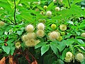 Flower-balls (I do not know their real name) - panoramio.jpg