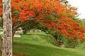 Flowering Tree (5083260706).jpg