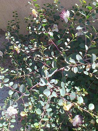 Caper - Flowering caper plant, soon to yield caper berries