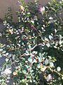 Flowering caper plant.jpg