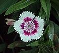 Flowers - Uncategorised Garden plants 227.JPG