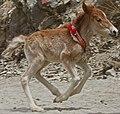 Foal of Tibet, from- Yumbu Lagang-20-Pferd-Fohlen-2014-gje (cropped).jpg