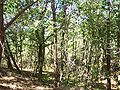 Forêt de la Coubre 008.jpg