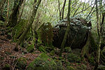 Forest in Yakushima 33.jpg
