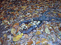 Foret de Soignes, 2007-11-04.jpg