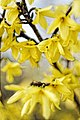 Forsythia - Fleur Du Printemps V (64273691).jpg