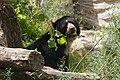 Frankfurt Zoo - Andean Bear 1.jpg
