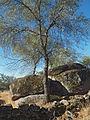 Fraxinus angustifolia 20110817.jpg
