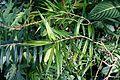 Freycinetia cumingiana - Wilhelma Zoo - Stuttgart, Germany - DSC01781.jpg