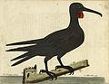 Frigatebird Eleazar Albin 1737.jpg