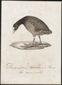 Fulica atra - 1800-1812 - Print - Iconographia Zoologica - Special Collections University of Amsterdam - UBA01 IZ17500227.tif