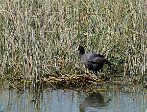 Red-knobbed coot - Example of nest, photographed in S'Albufera de Mallorca.