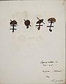 Fungi agaricus seriesI 057.jpg