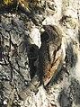 Göktyta Eurasian Wryneck (20351509395).jpg