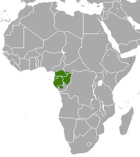 Gabon bushbaby species of mammal