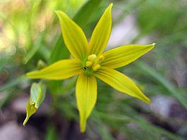 цветок гусиный лук 5 букв