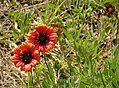 Gaillardia pulchella. Indian Blanket (26233987529).jpg