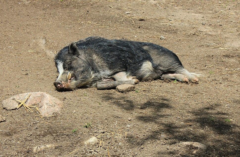 Gammel griseart