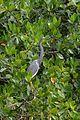 Garceta Tricolor, Tricolored Heron, Egretta tricolor (23719228750).jpg