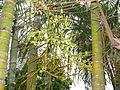 Garden Palm - അലങ്കാരപ്പന-7.JPG