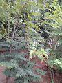 Garden at saraswathi illam,palavangudi jpg 36.jpg