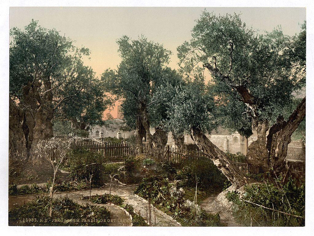 File Garden Of Gethsemane Jerusalem Holy Land Wikimedia Commons