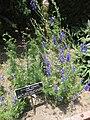 Gardenology.org-IMG 7634 hunt09jun.jpg