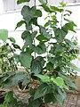 Gardenology.org-IMG 7794 qsbg11mar.jpg