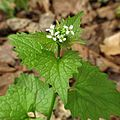 Garlic Mustard - Flickr - treegrow.jpg