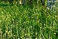 Garphyttan NP yellow flowers.jpg