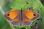 Gatekeeper (Pyronia tithonus) female ab. excessa.jpg
