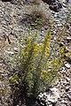 Genista scorpius kz01.jpg