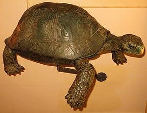 Giant tortoise - Restoration of Geochelone burchardi in Museo de la Naturaleza y el Hombre of Santa Cruz de Tenerife.