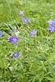 Geranium pratense frechencourt 80 12062008 3.jpg