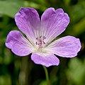Geranium yesoense var. nipponicum 04.jpg
