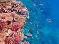 Gesundes Korallenriff im Roten Meer 3.jpg