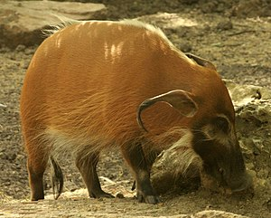 Gfp-red-river-hog.jpg